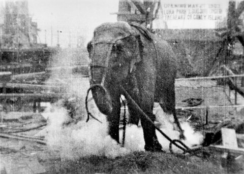 Topsy, a harmless circus elephant, was deliberately electrocuted by Edison at the new Luna Park, Coney Island, in 1903, in order to prove that his DC power system is superior to Tesla's AC system.